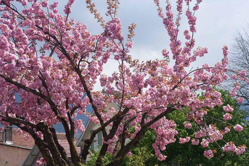 Spring Blooms-1