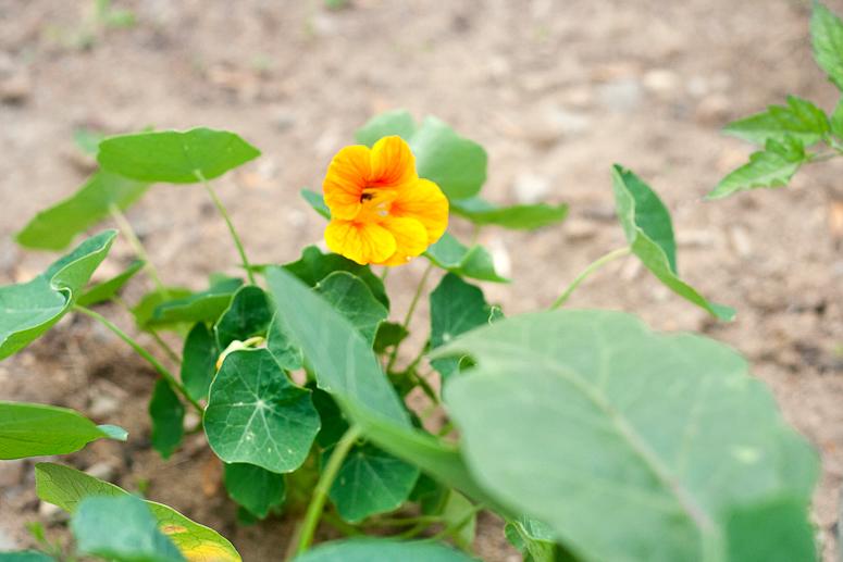 June Garden Update at Callaloo Soup-3